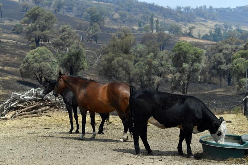 A photo taken on Jan 8, 2020, shows animals on a farm that survived bush fires in Batlow, in Australia's New South Wales state.