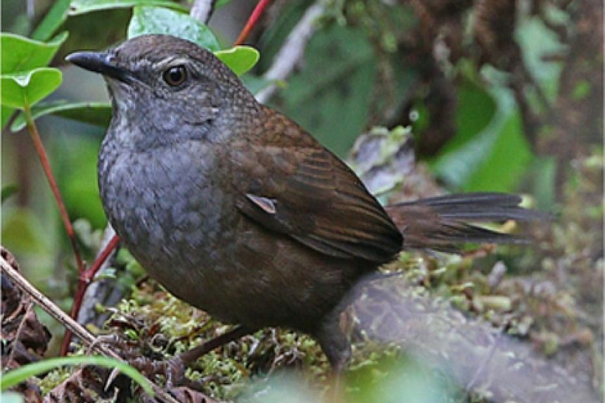 On the island of Peleng, two new species, the Peleng fantail and the Peleng leaf-warbler (above), and a new subspecies, the Banggai mountain leaftoiler, were discovered. On the island of Taliabu, three new species - the Taliabu Myzomela (left), the T
