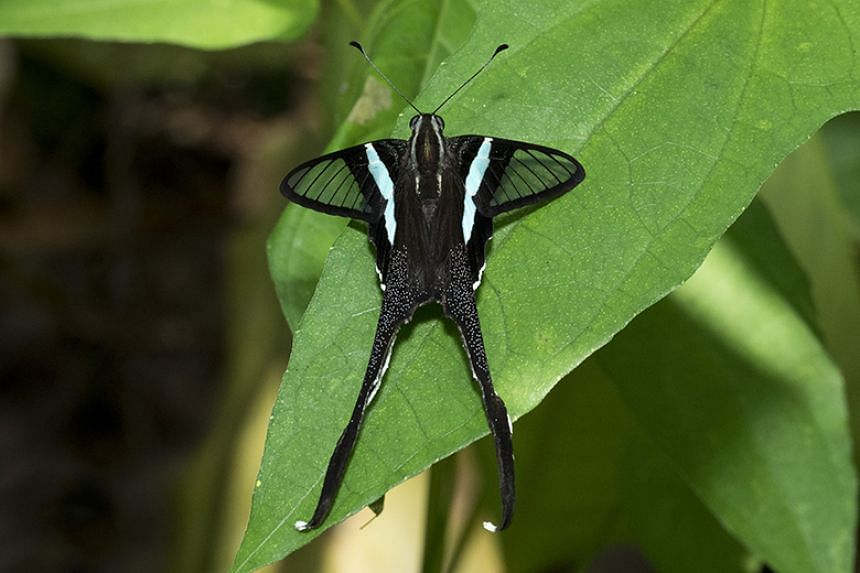 Of the 236 butterfly species thought to be locally extinct, 132 are known species, like the green dragontail (above).