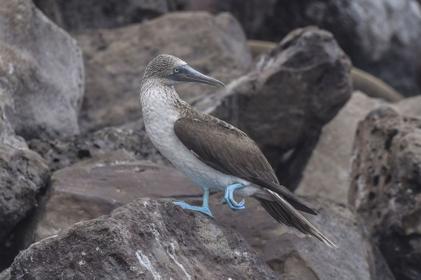 The Galapagos Islands' blue-footed booby is among the more recognisable seabird species.