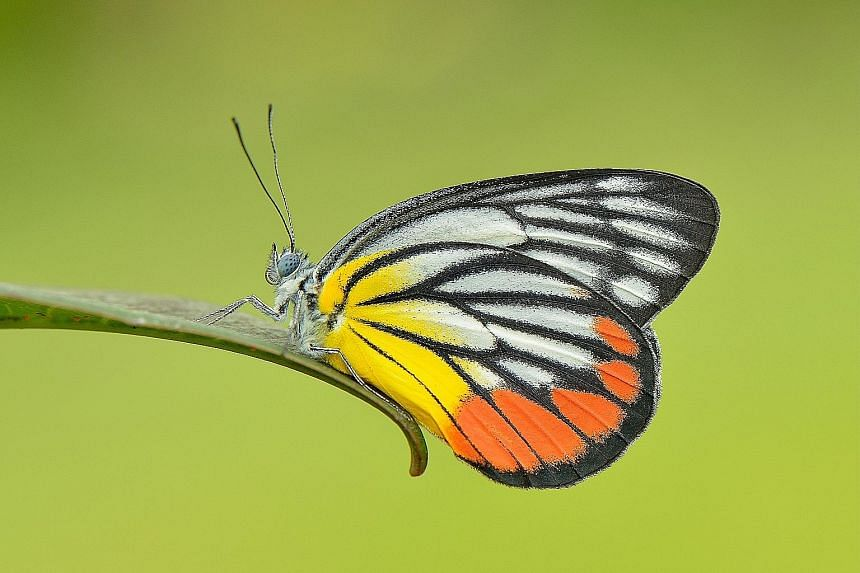 Some of Singapore's native butterflies that are still present include the white tipped baron (left) and the painted jezebel. It could be an encouraging sign that half the butterfly species still remain even after Singapore's rapid transformation, say