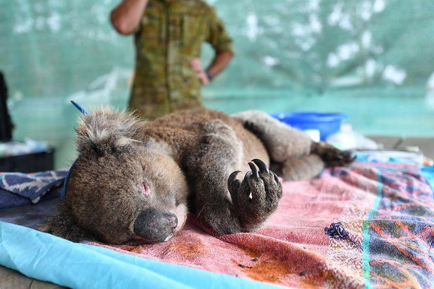 Vets and volunteers treat koalas at Kangaroo Island Wildlife Park, on Kangaroo Island, Australia, on Jan 10, 2020.