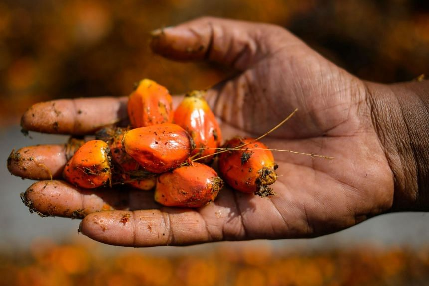 In a photo taken on Nov 20, 2014, a worker shows palm oil fruits at a factory in Sepang, outside Kuala Lumpur.