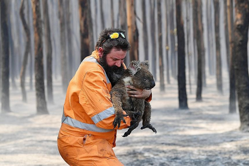 Wildlife rescuer Simon Adamczyk with a koala rescued from a burning forest on Kangaroo Island, Adelaide, on Jan 7. Some estimates suggest as many as a billion animals have either died in the fires or are at risk in their aftermath. PHOTO: REUTERS