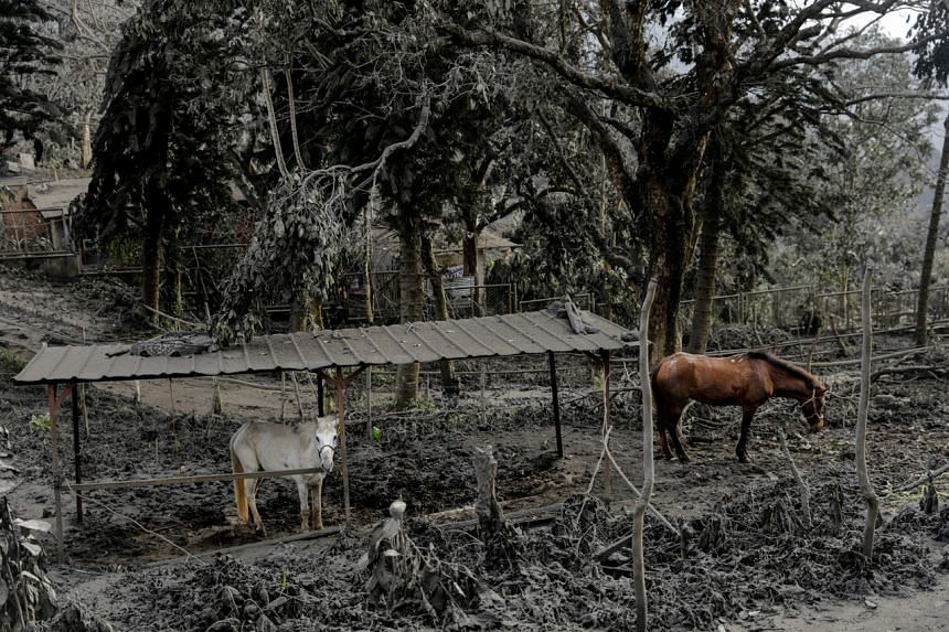 Horses rented out for tourists are left in a park filled with volcanic ash and fallen branches in Tagaytay City, Philippines, on Jan 14, 2020.