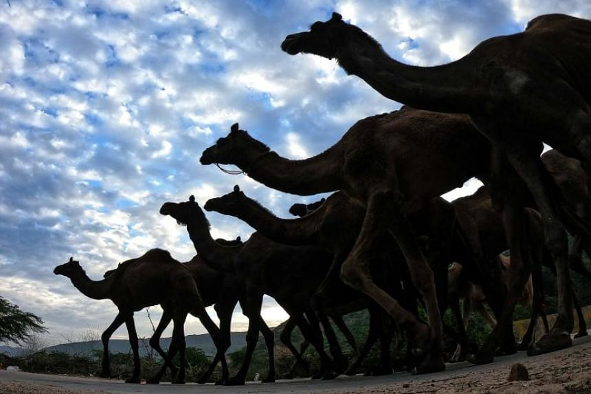 Australia is now thought to have the largest wild camel population in the world, with official estimates suggesting more than one million are roaming the country's inland deserts.