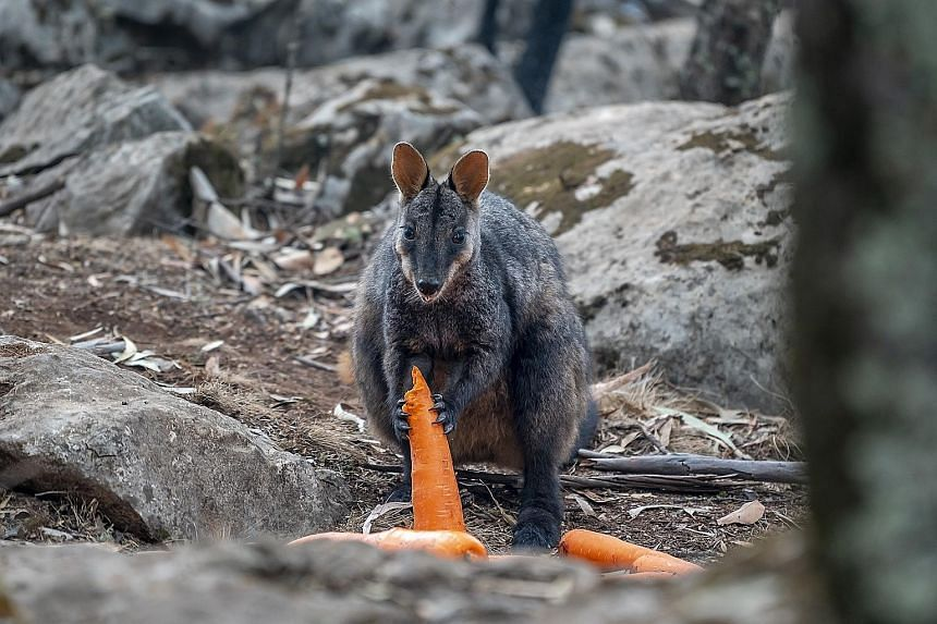 Thousands of kilograms of carrots and sweet potatoes are being dropped by planes and helicopters in fire-affected areas to help wildlife in Australia. In a mission dubbed Operation Rock Wallaby, New South Wales National Parks and Wildlife staff used