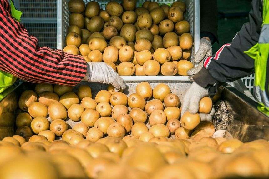A photo taken in 2019 showing workers sorting out kiwis in China. A group of friends were not paid for pruning kiwifruit trees at an orchard in Pukehina, New Zealand.