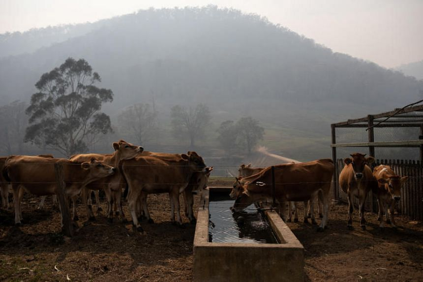 The remaining calves belonging to dairy farmer Tim Stalway drink water at his farm in Wandella, near the town of Cobargo, Australia, on Jan 13, 2020.