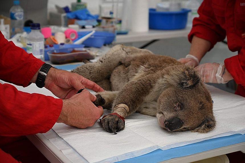 An injured koala being treated for burns at a makeshift field hospital in Australia's Kangaroo Island Wildlife Park on Tuesday.