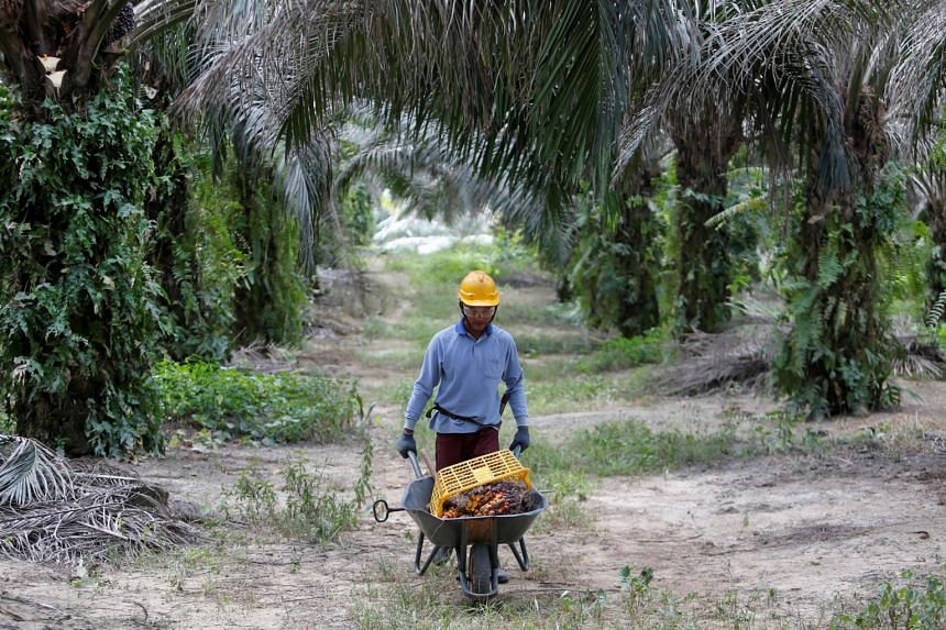 In a photo from Jan 30, 2019, a worker collects oil palm fruits at a plantation in Bahau, Negeri Sembilan, Malaysia.