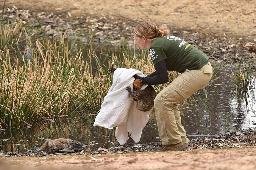 Humane Society International crisis response specialist Kelly Donithan picks up an injured koala who was sitting beside a dead koala on Kangaroo Island on Jan 15, 2020.