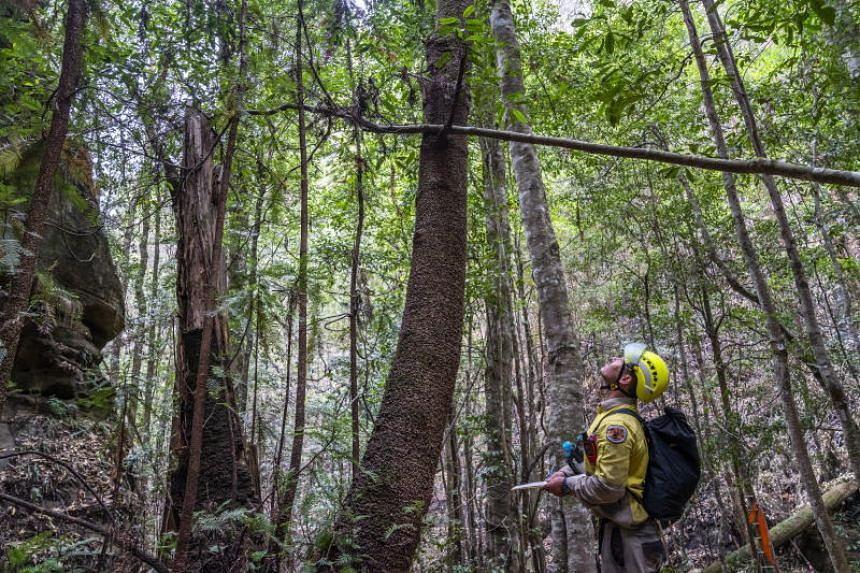 New South Wales National Parks and Wildlife Service personnel inspect Wollemi pine trees in Wollemi National Park, Australia, in early January 2020.