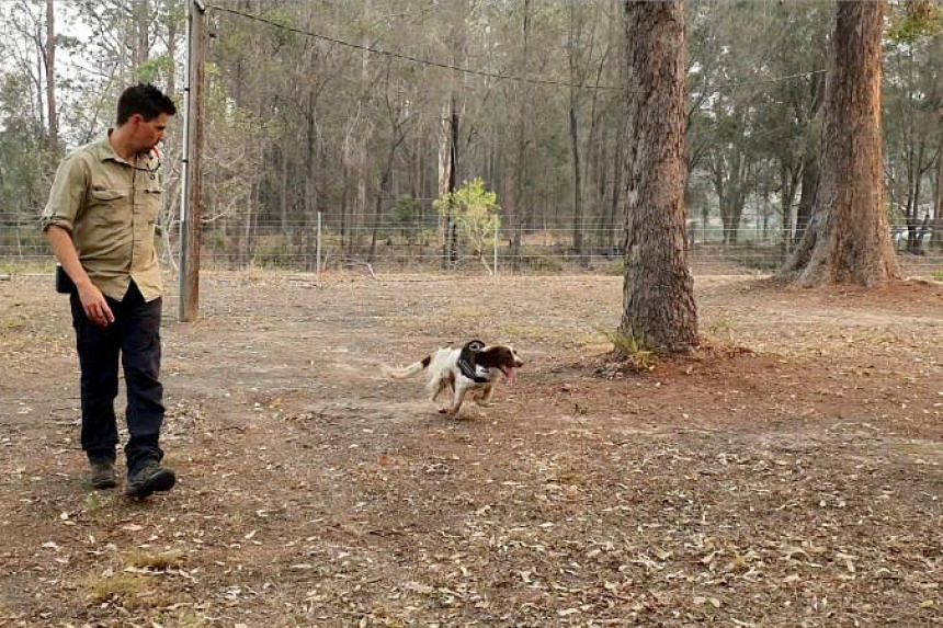 In a video still taken on Nov 22, 2019, animal trainer Ryan Tate watches Taylor, a koala detection dog, during a demonstration at Port Macquarie, Australia.
