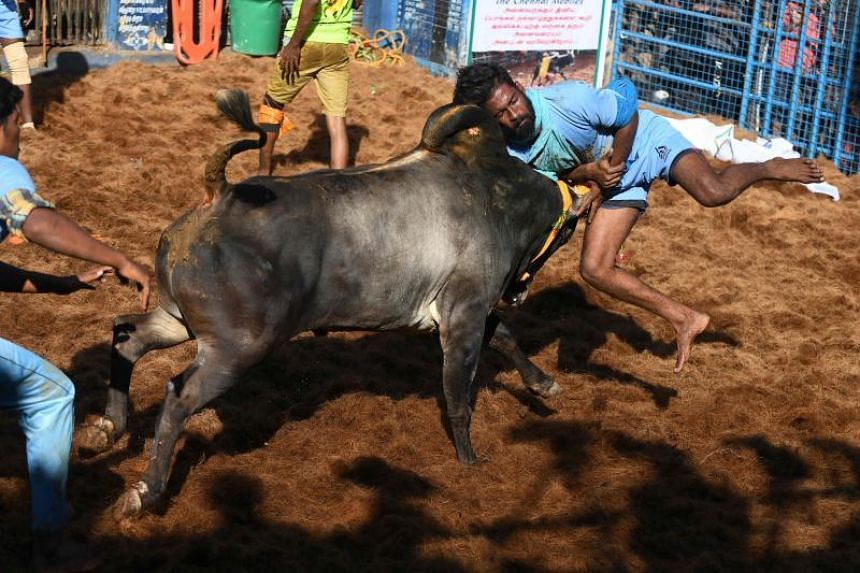 A participant tries to control a bull during the annual bull taming Jallikattu festival in Allanganallur village on the outskirts of Madurai in the southern state of Tamil Nadu, on Jan 17, 2020.