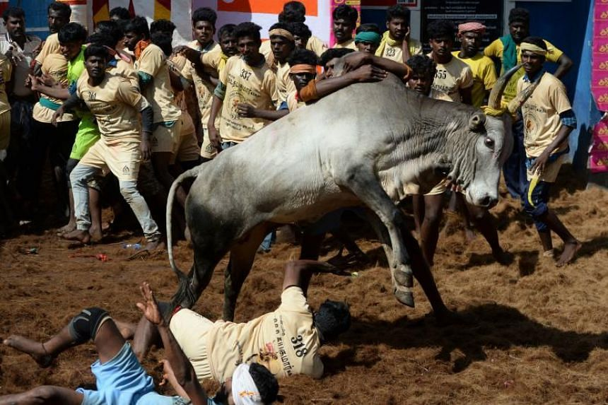 Participants try to control bulls during the annual bull taming Jallikattu festival in Allanganallur village on the outskirts of Madurai in the southern state of Tamil Nadu, on Jan 17, 2020.