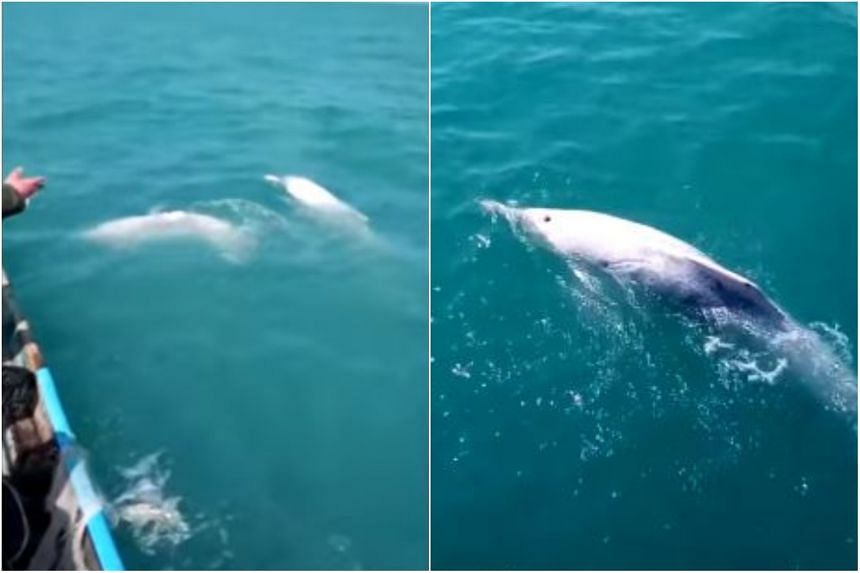 Three fishermen caught sight of the dolphins in the boundary area between Kradang Nga and Ja Ting Phra subdistricts.