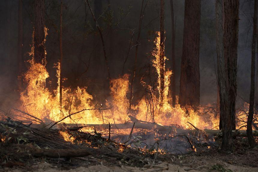 Flames from a controlled fire burn up tree trunks near Bodalla, Australia, on Jan 12, 2020.