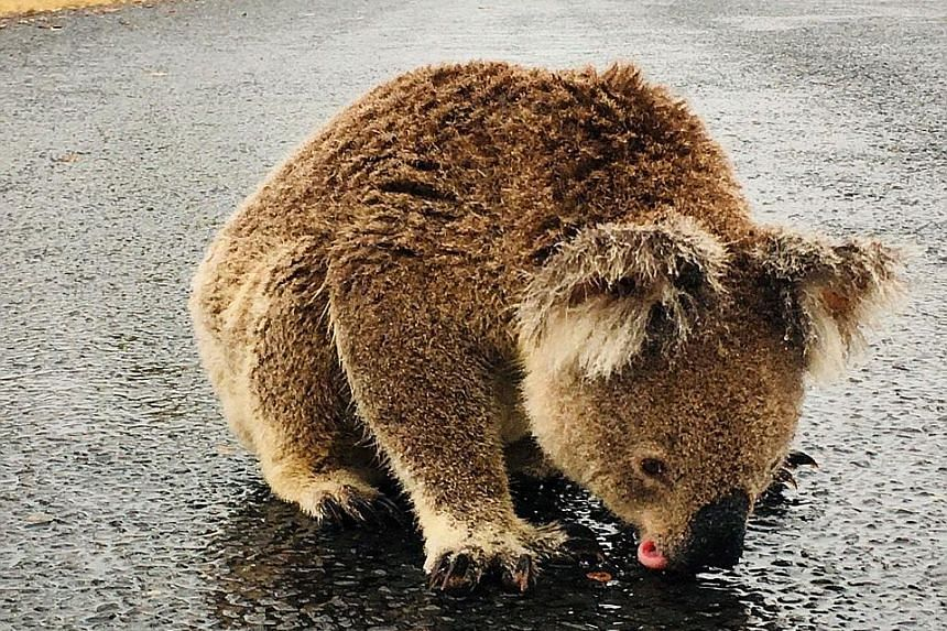 Above: A social media post showing a koala licking rainwater off a road near Moree, New South Wales, last week. PHOTO: REUTERS Right: Torrential rain left the Movie World car park at Oxenford in Queensland underwater early yesterday morning. Victoria