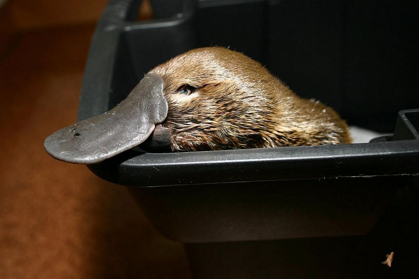 A survey estimated the total platypus population had fallen by 50 per cent since European settlement of the continent two centuries ago.