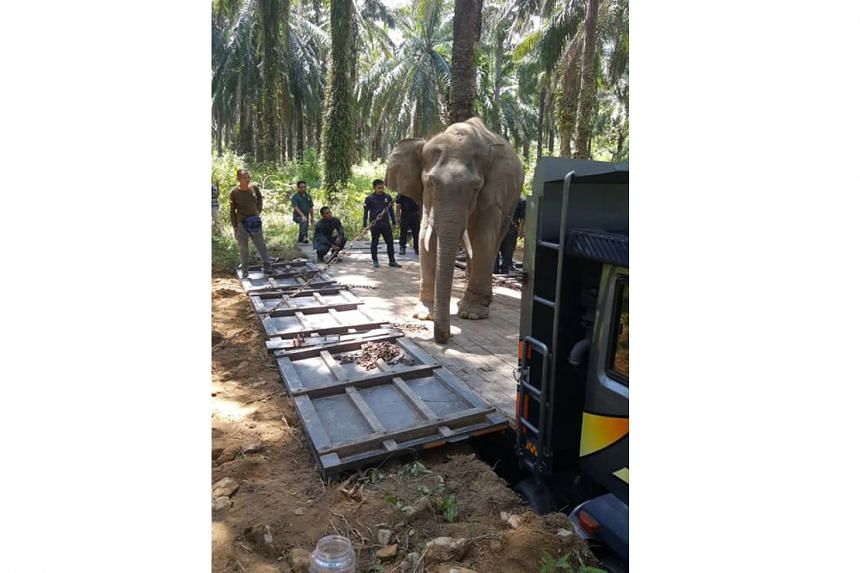 Perhilitan officers help move elephants to a safer place when there are elephant-human conflicts due to the opening of land for farming.