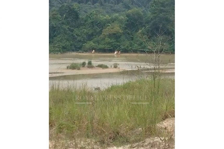 Two white tigers, and two other tigers, drinking at a river in the Kota Tinggi area.