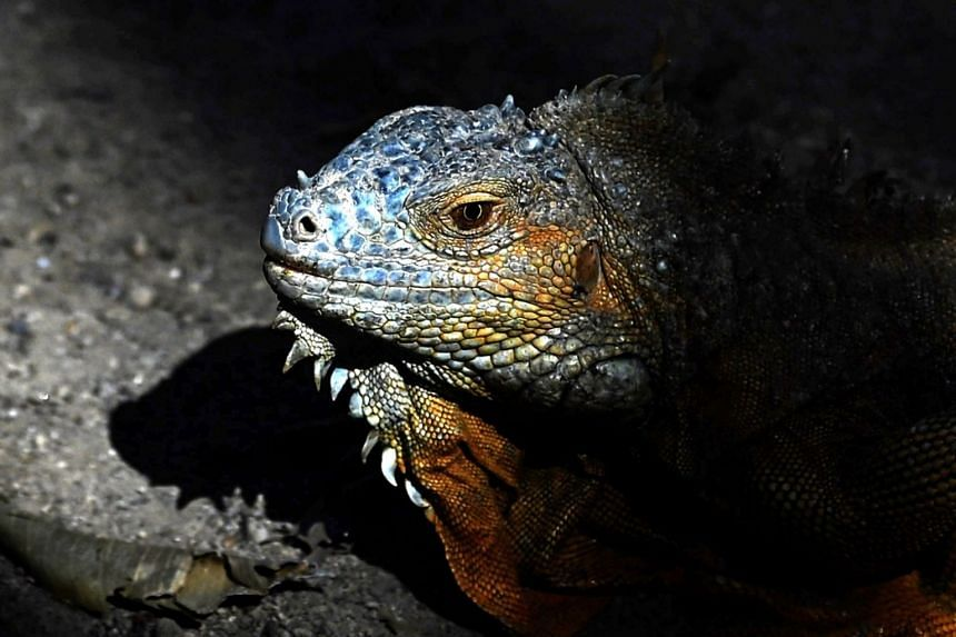 Iguanas are not native to Florida but were brought in by travellers from Central and South America in the 1960s.