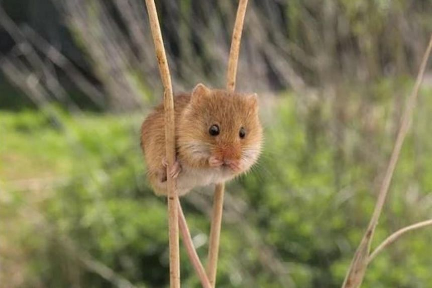 The harvest mouse is considered Britain's smallest rodent, weighing only 6g - about the same as a 50-cent coin - when fully grown.