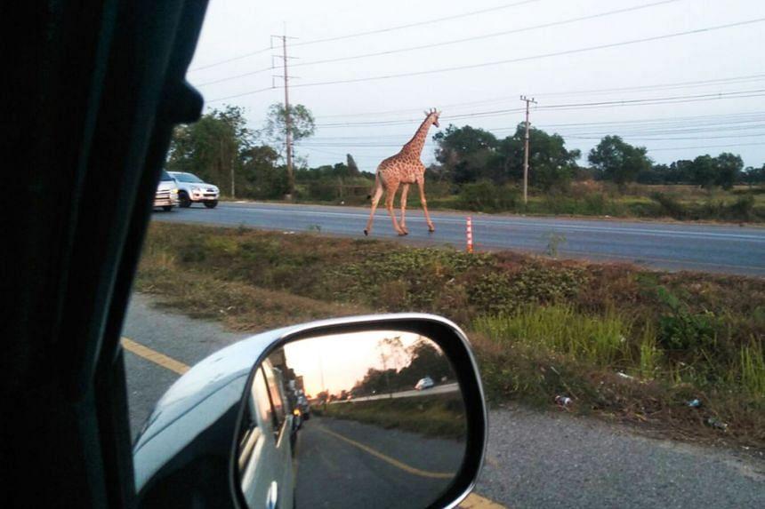 The runaway giraffe, seen crossing a road in Bang Khla, Chachoengsao province.