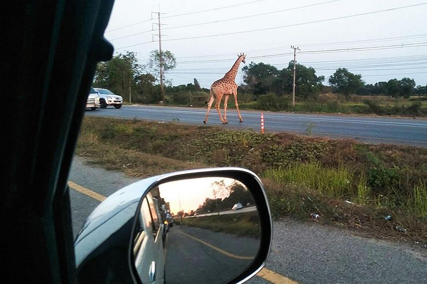 The runaway giraffe crossing a road in Bang Khla, Chachoengsao province, in Thailand. Rescuers caught the other long-necked escapee using a tranquilliser gun. The pair, imported from Africa, were headed for a breeding station run by Safari World, Tha