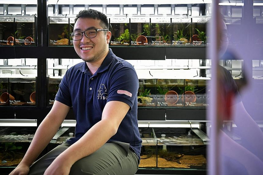 NUS student Tan Zhi Wan rears 12 species of wild bettas at his Hougang home in special tanks called biotopes that mimic the fish's natural environment. Collectors like him could help wild bettas beat extinction. Three species of fish from the genus B
