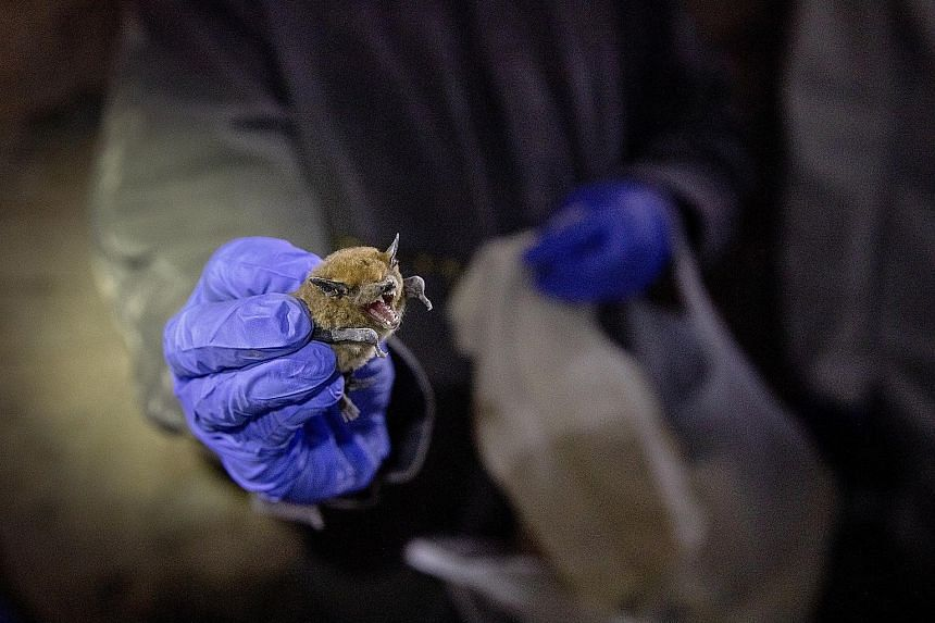 Bats are considered the probable source of the current coronavirus outbreak spreading from China. Research shows they may have an immune system that lets them coexist with many disease-causing viruses.