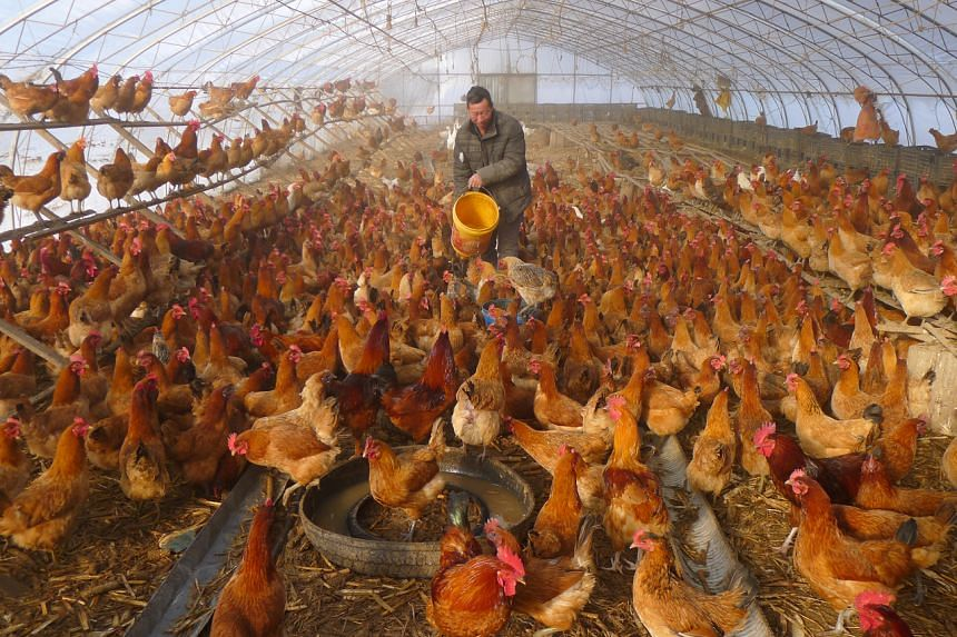 In this picture taken on Nov 17, 2019, a farmer tends to chickens at a farm in Heihe, China.