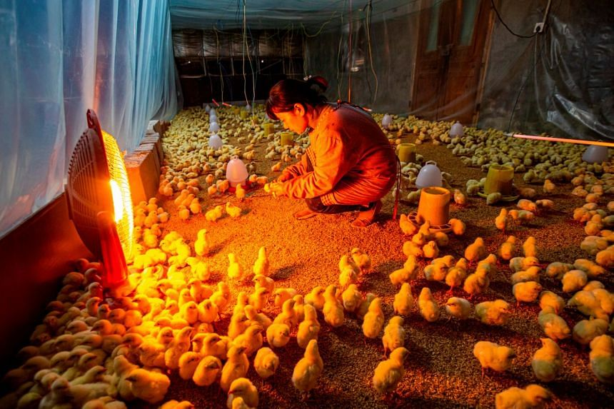 A villager inspects chicks at a chicken farm in Nantong, Jiangsu province, China, on Nov 26, 2019.