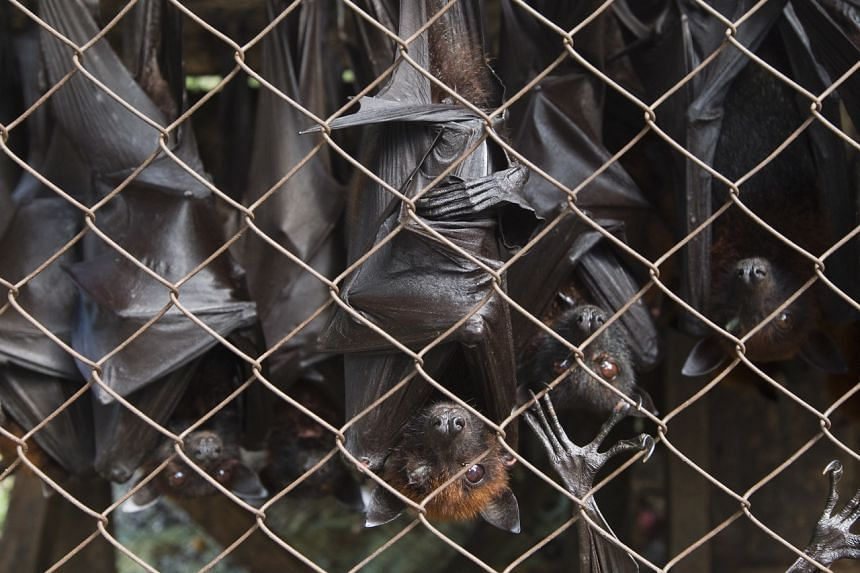 In a photo taken on April 23, 2012, fruit bats for sale are packed into small cages on a street on the outskirts of Medan, Indonesia.