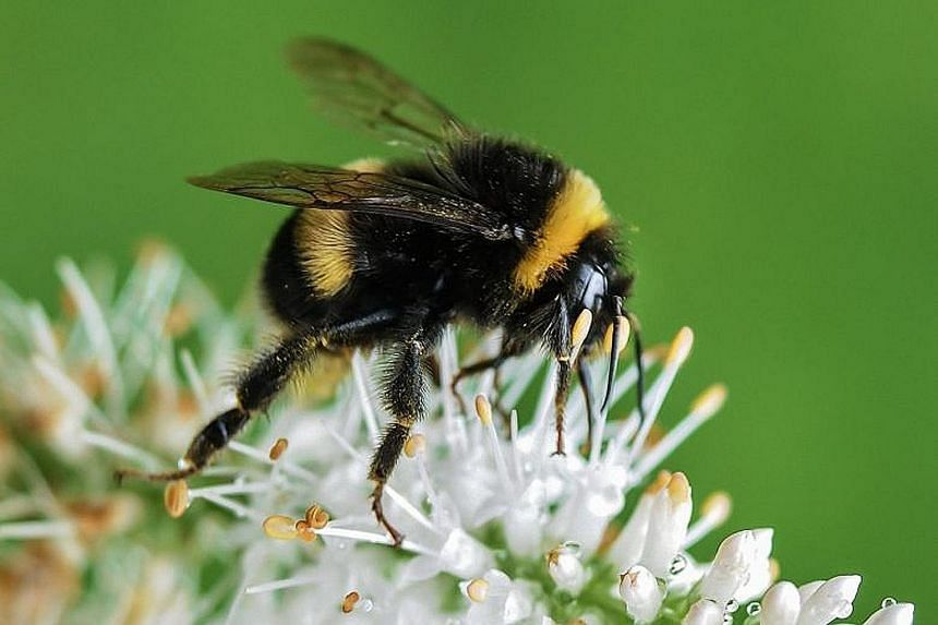 Besides global warming, heavy pesticide use and habitat loss caused by changes in land use have also been linked to declining bumblebee populations in Europe and North America.