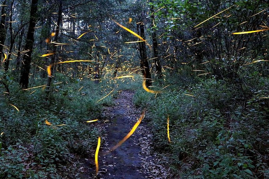 Fireflies, in search of mates, lighting up in synchronised bursts in a forest in Tlaxcala, Mexico. Many fireflies rely on bioluminescent courtship signals to find mates. When the night-time environment is too bright, these signals are difficult to be
