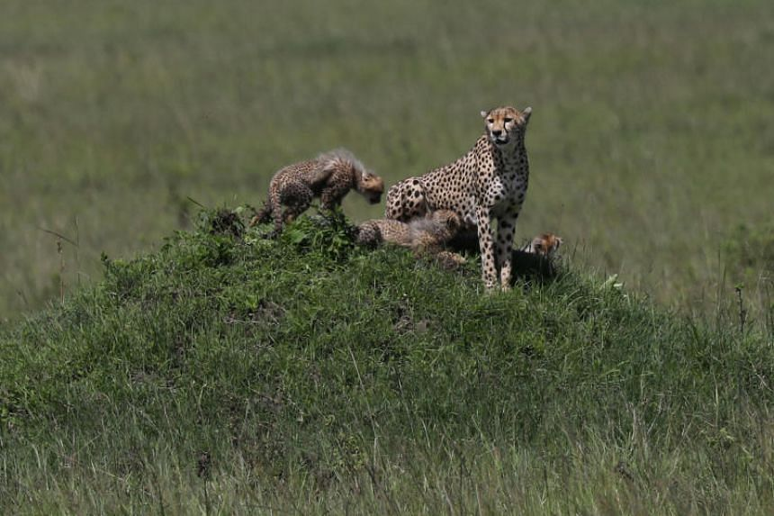 A cheetah and her cubs roaming seen in southern Kenya on Dec 6, 2019. A plan to reintroduce African cheetahs to the Indian sub-continent has prompted concern from wildlife conservationists.