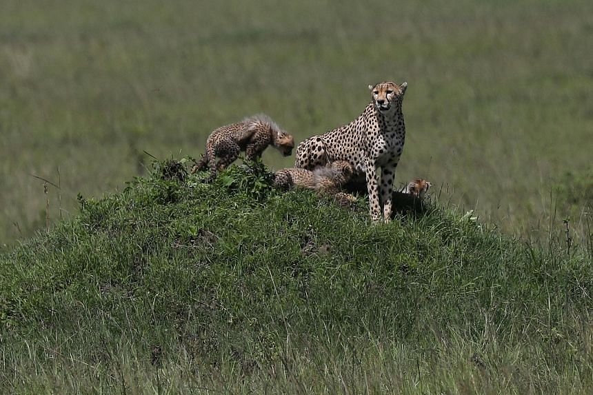 A female cheetah and its cubs in a national park in southern Kenya. An ambitious Indian government plan to introduce the African cheetah - which is distinct from the Asiatic cheetah that once roamed in India - has received the go-ahead from the Supre