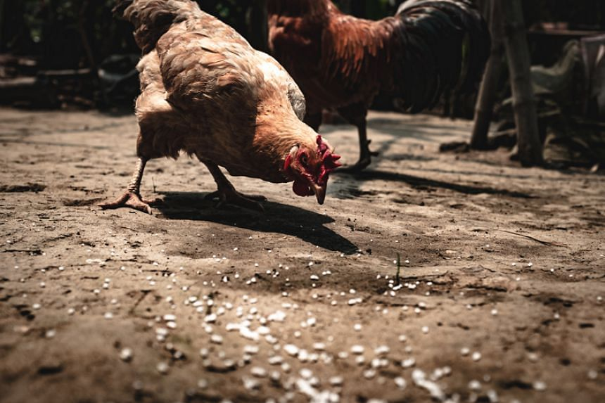 Vietnam has a poultry herd of 460 million, and small-sized bird flu outbreaks have not been uncommon in the country during the past five years.