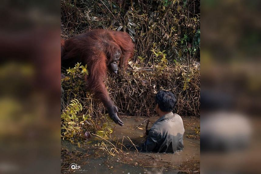 In this photo posted by geologist Anil Prabhakar, an orang utan seemingly offers a helping hand to a man who is chest-deep in a pond.
