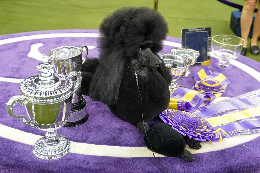 Siba is the fifth standard poodle to win the show's top prize and the first since 1991.