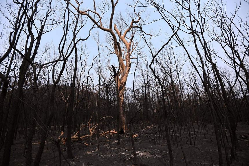 Charred trees following bushfires in Budgong National Park in New South Wales on Jan 15, 2020.