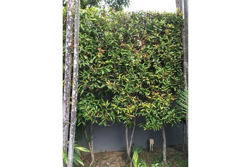 Syzygium myrtifolium a common species for hedgesSyzygium myrtifolium a common species for hedges .