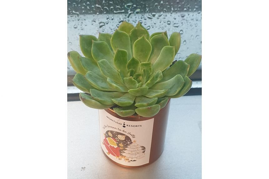 Echeveria is best grown in well-drained, gritty mix in a sunny spot.