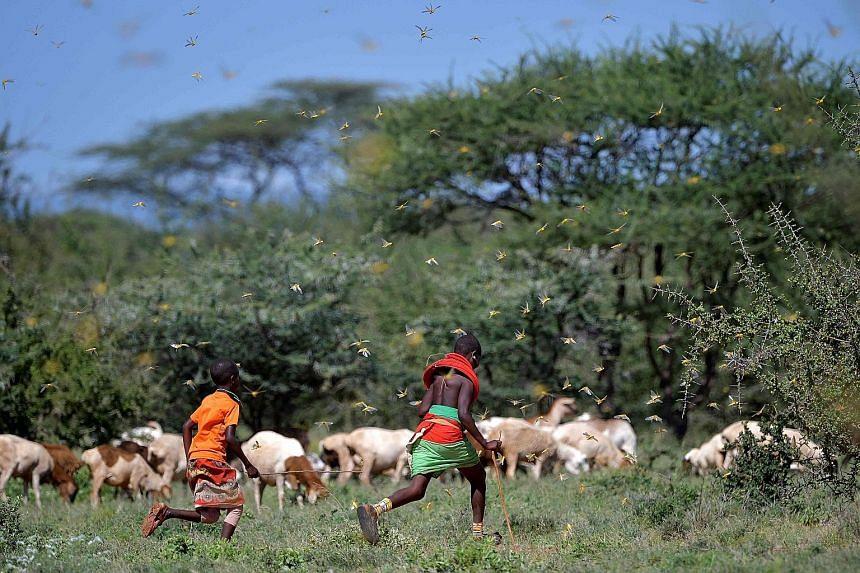 Locusts surrounding two girls and their cattle near Archers Post, Kenya, last month. There has been a devastating locust invasion in East Africa and a surge in malaria in parts of Africa as the climate gets hotter. PHOTO: AGENCE FRANCE-PRESSE