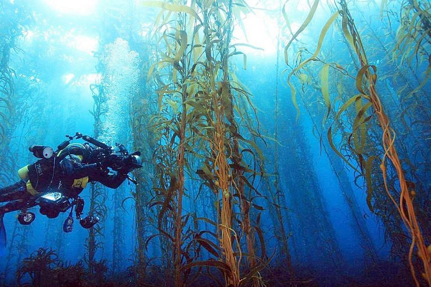 Forests of giant kelp once stretched along the entire seabed off the east coast of Tasmania in Australia. This kelp, which can grow to 30m in length, is the largest and fastest-growing sea plant. It is also an important food source and habitat, and i