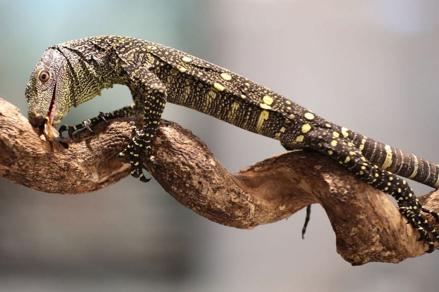 One of the crocodile monitor hatchlings welcomed by the Singapore Zoo in November last year.