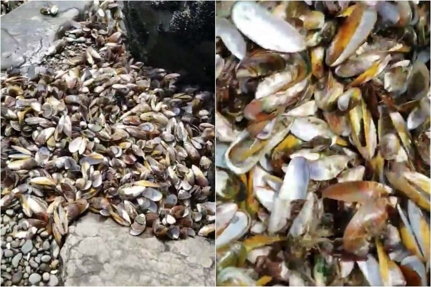 Footage posted to social media shows rockpools choked almost knee-deep with mussel shells at Maunganui Bluff Beach.