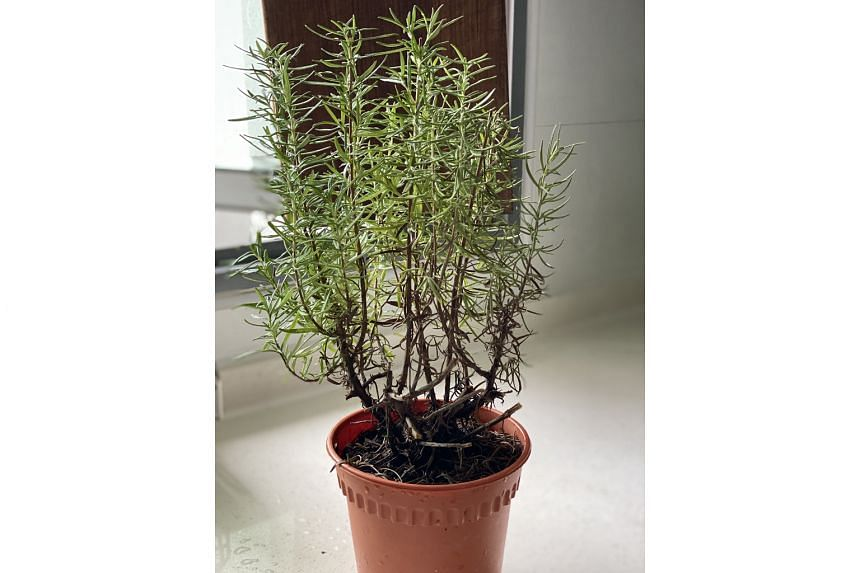 Root zone of rosemary plants needs well-drained media and to dry out before watering again.